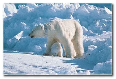 polarbearusgs.jpg