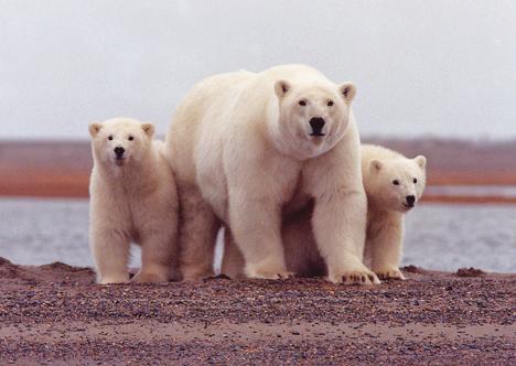 polarbearyoungsusannemiller.jpg