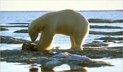 polarbear2usfws.jpg