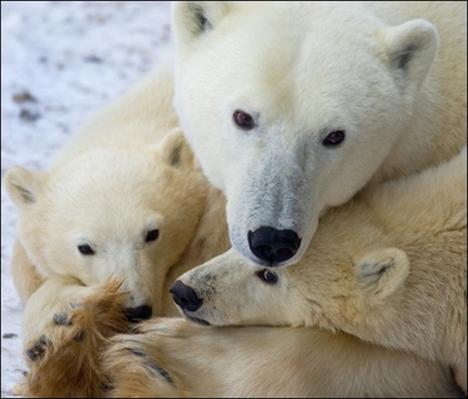 polarbearcubshudsonbayafppaul-j-richards.jpg