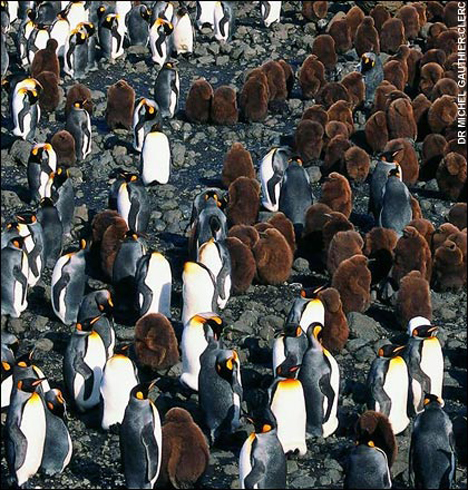 kingpenguin52milbreeding-pairs.jpg
